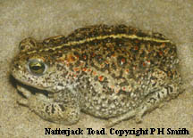 Natterjack Toad. Copyright P H Smith